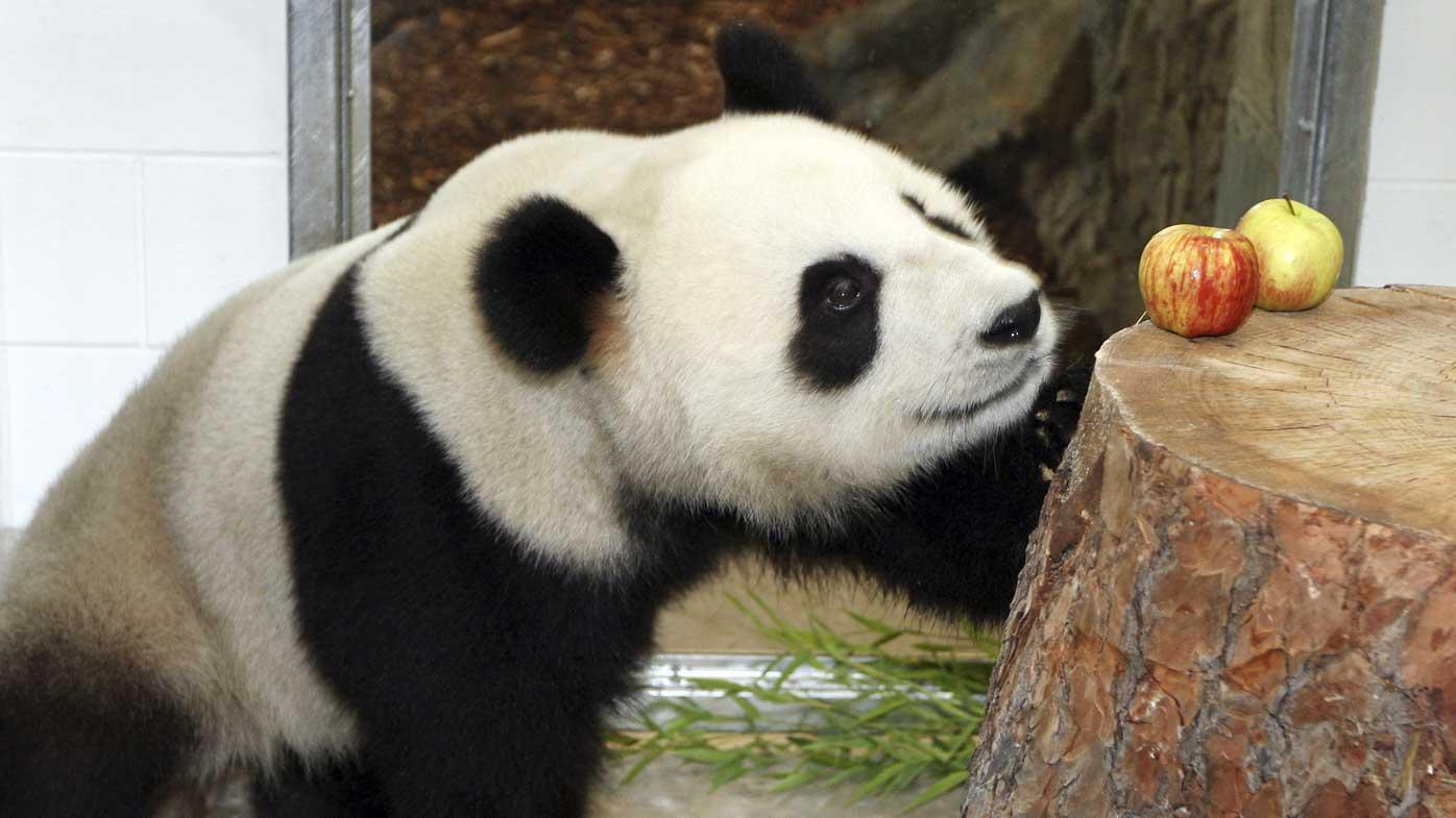 Fu Ni at Adelaide Zoo. (AAP)