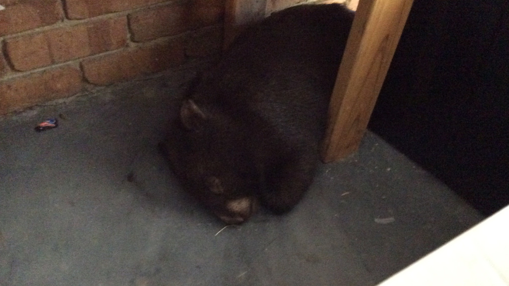 Wombat takes a nap in Melbourne garage