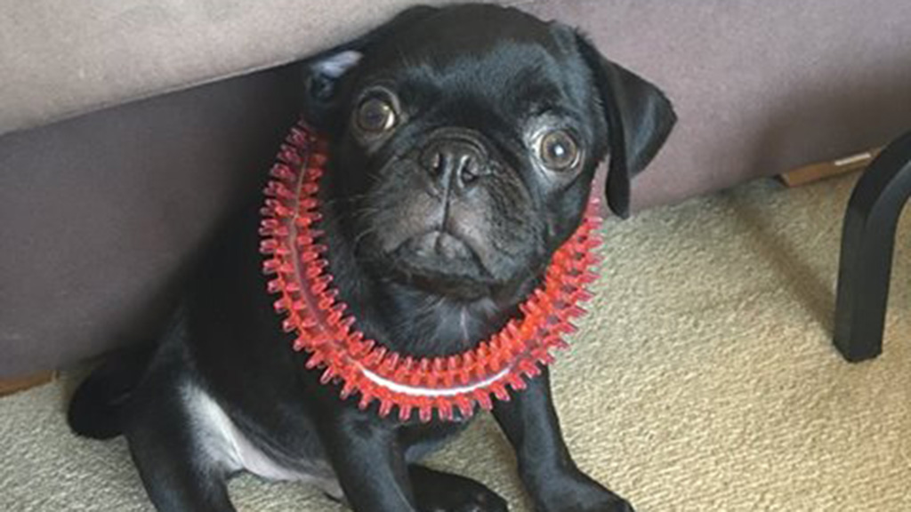 Egg the pet pug stolen after owner allegedly held up at knife-point in Sydney