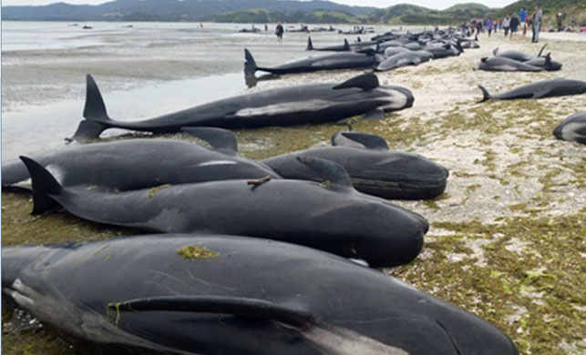 Grisly task of making NZ whale carcasses safe