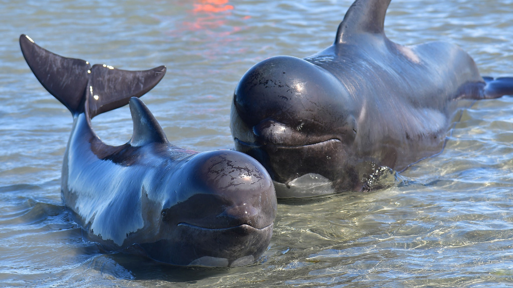 A pilot whale and her calf in shallow waters. (AFP)