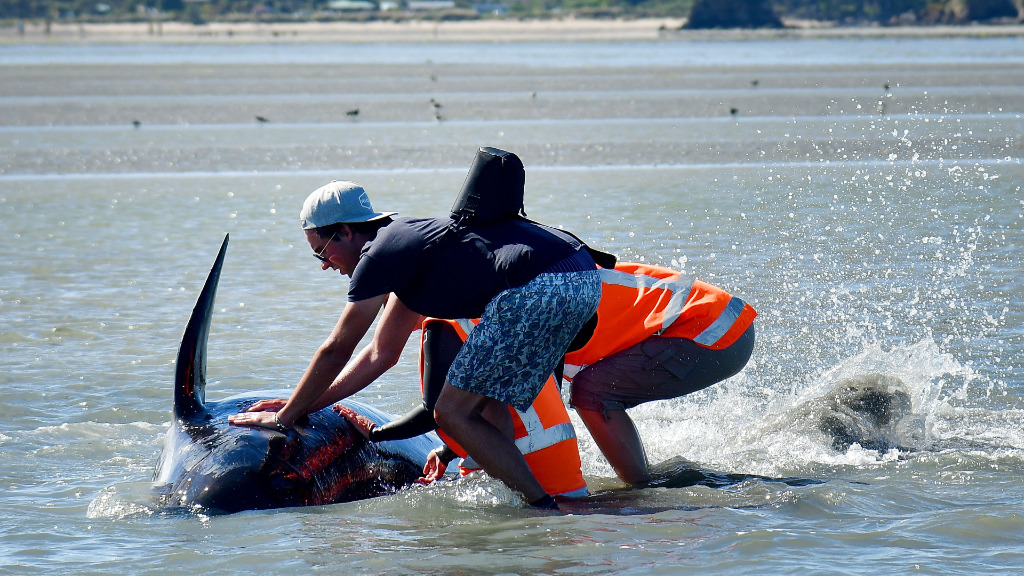 A man attempts to roll the whale back to safety. (AFP)