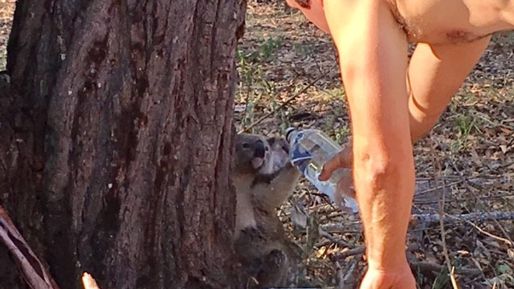 The koala reached out to drink some water. (Supplied/Daniel Pinto)