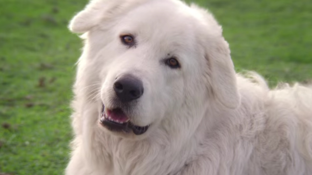 Oddball the penguin-protecting sheepdog has died