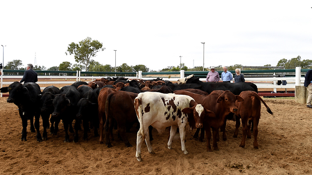 Live Cattle Delayed Futures