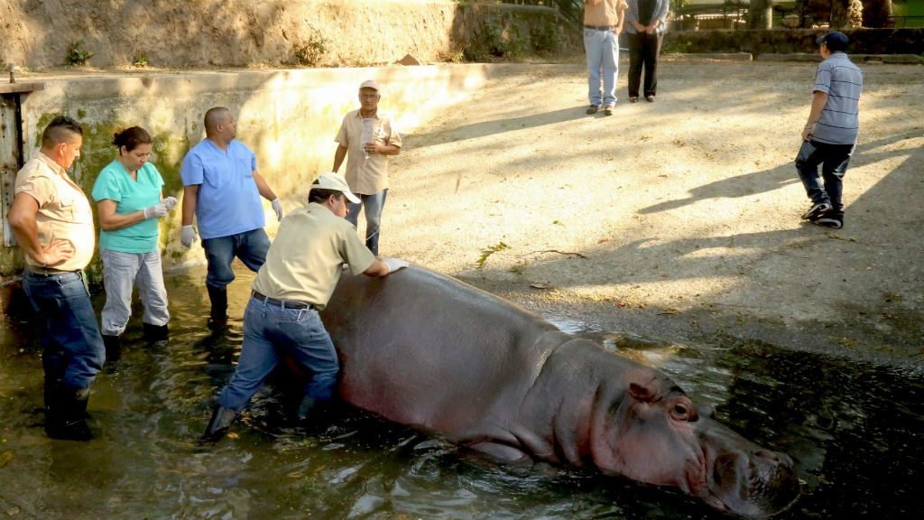 El Salvador zoo in hot water over making up savage hippo bashing story