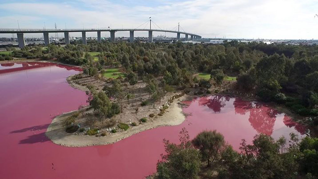 Searing summer temperatures cause Melbourne lake to turn pink