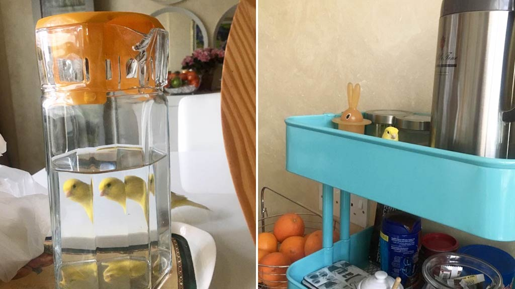 Pet canary proves unexpected star in owner's photoshoot