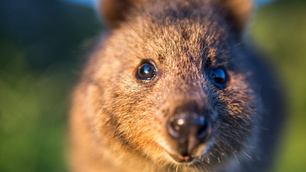 Man charged after hurling quokka off Rottnest Island jetty