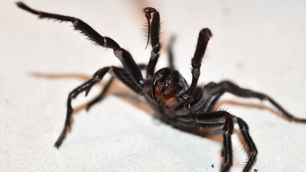 Protein in funnel-web spider venom 'protects' brain from stroke