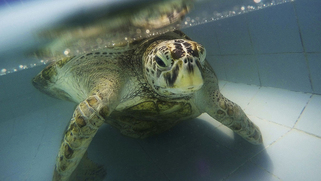 'Bank' the turtle dies after swallowing thousands of coins in Thailand