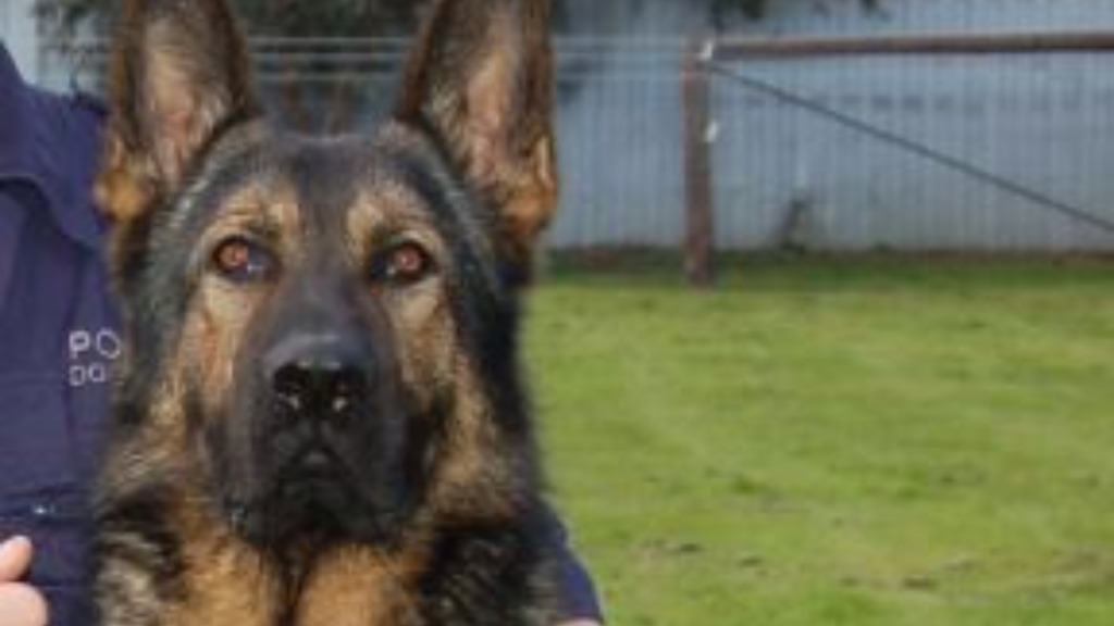 Police dog, Indy. (Victoria Police)