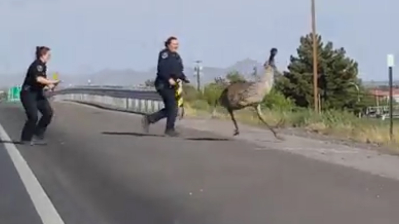 Police chase runaway emu down New Mexico highway