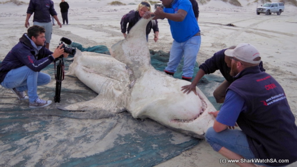 Three sharks have been killed by orcas in South Africa. (Shark Watch SA)