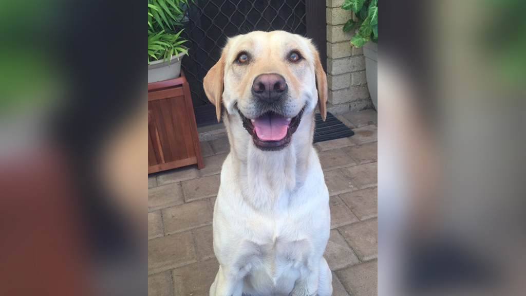 "Labrador ""Luna"" was allegedly stabbed by a stranger while she was being walked in a Perth park. (WA Police)"