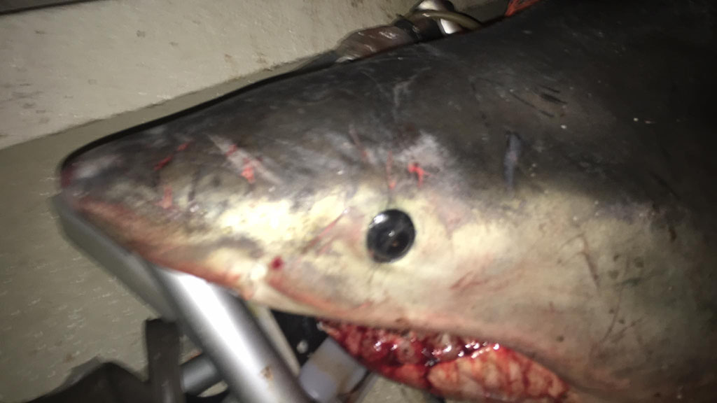 The shark died while on the boat and has been given to DPI where it will be used for research. (Marine Rescue Evans Head)