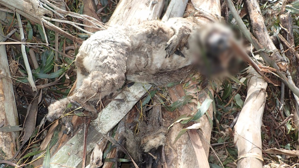 The koala was found dead in a logged forest in the Acheron Valley. (Supplied)