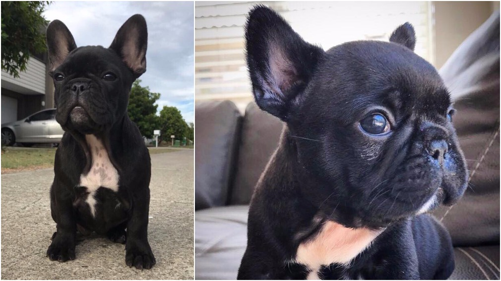 French bulldog Kylie was stolen from her owner's Gold Coast home yesterday. (Facebook)