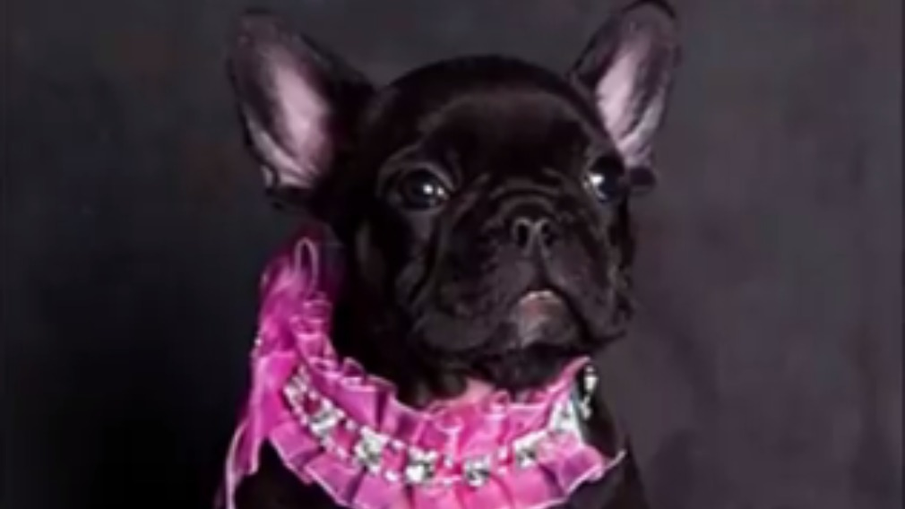 The black French bulldog is worth about $7000. (Facebook)
