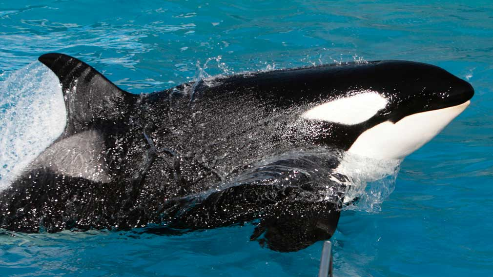 The major change to the future of Sea World's killer whales