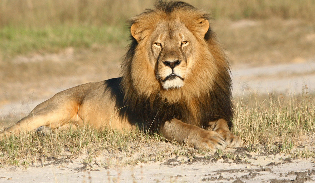 Son of Cecil the lion shot by hunters in Zimbabwe