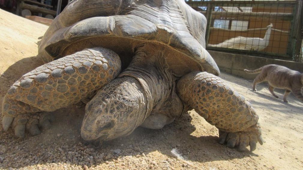 It is the second time the tortoise, nicknamed 'Aboo', has escaped the zoo. (Shibukawa Animal Park via Kyodo News)