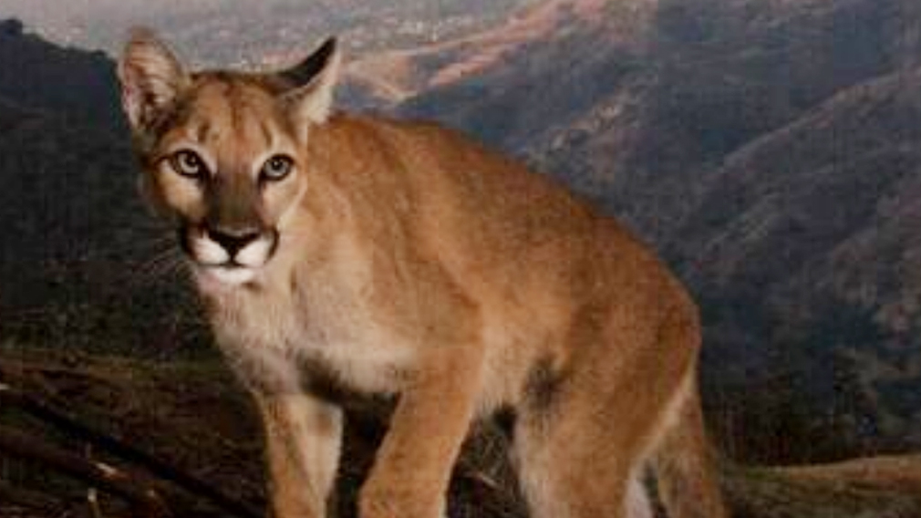 Staking out the wild cats roaming the hills of Los Angeles