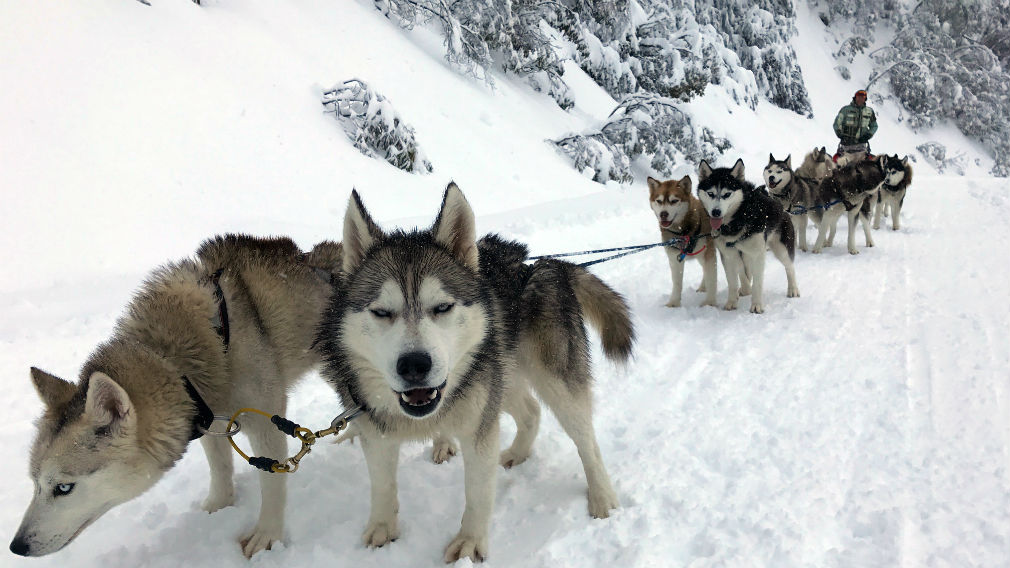 A pack of snow dogs prepare to run through heavy snowfall at the Mt Buller alpine resort yesterday. (AAP)