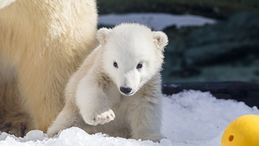 Little Mishka is growing in size and confidence, Sea World's said in a statement. (Supplied)