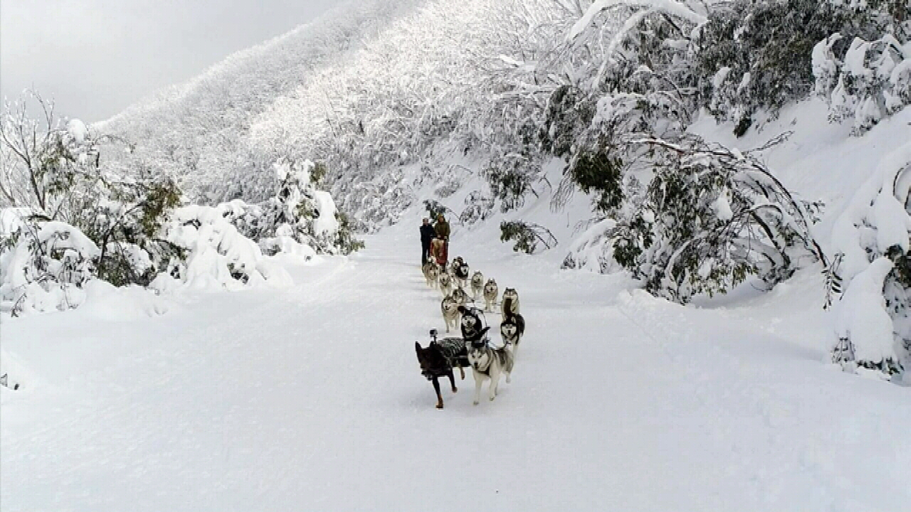 Brett Hadden trained Dusty to work with his team of huskies, and he is now the sled leader. (9NEWS)