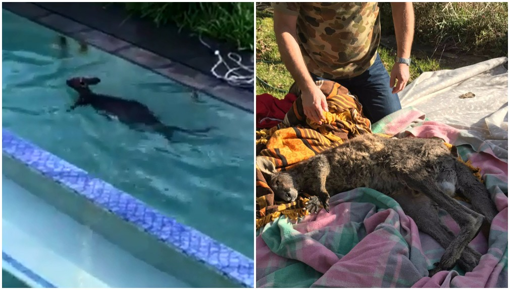 Saved by its ears: Roo survives pool drama