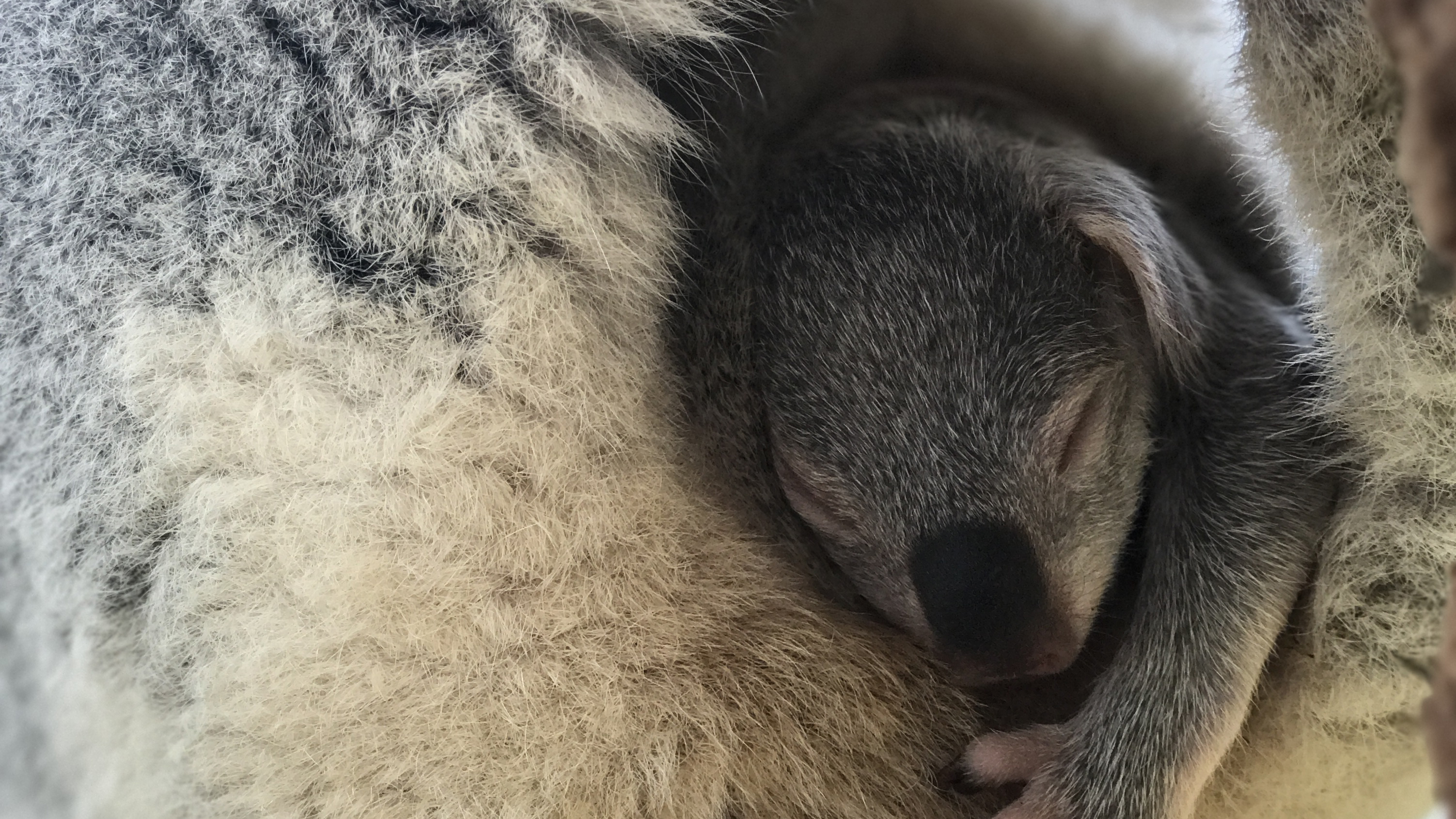 The koala joeys have been glimpsed snuggling up to their mothers' pouch at the Sydney zoo. (Wild Life Sydney Zoo)