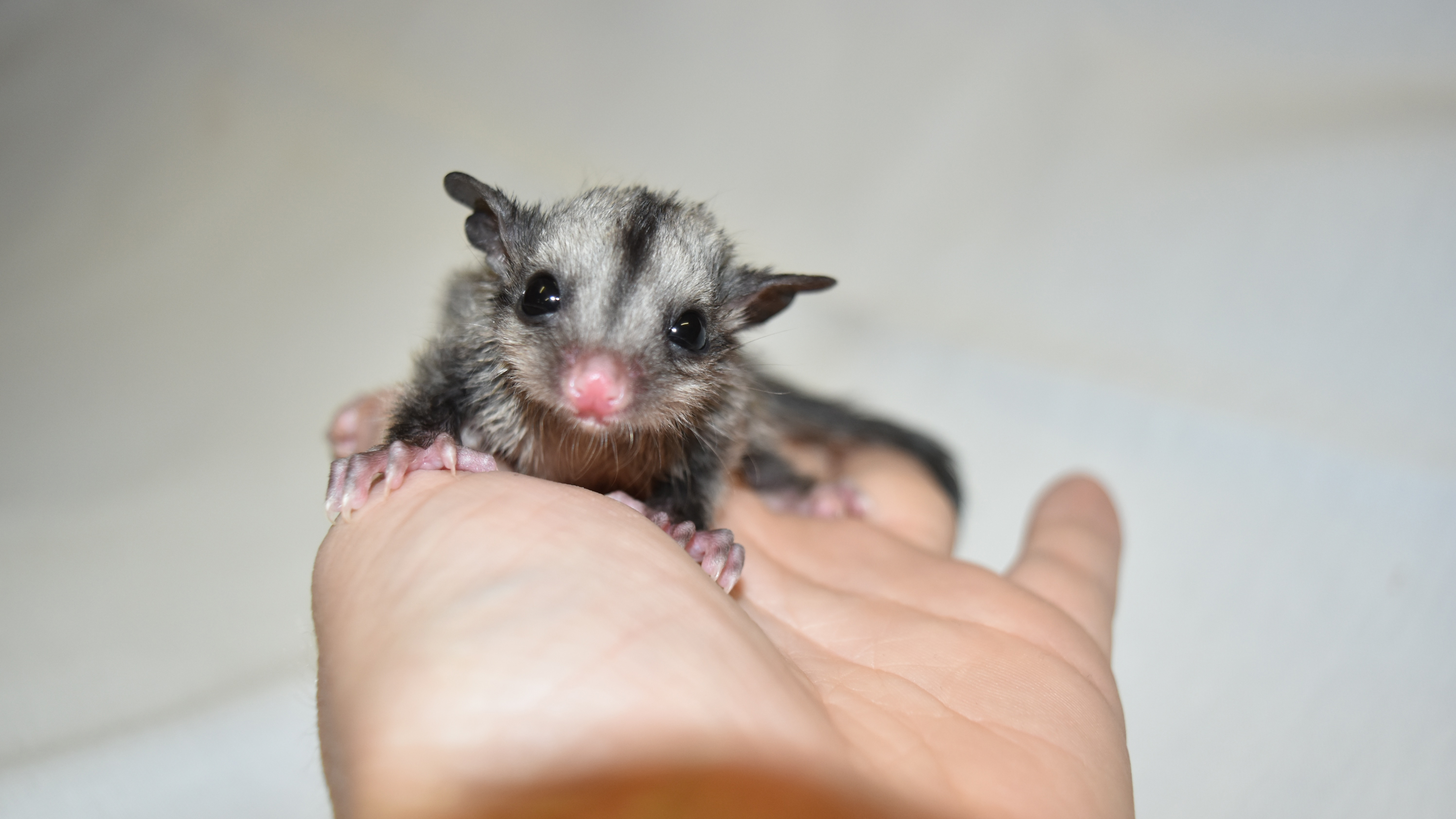 Three baby sugar gliders were handed in to The Australian Reptile Park overnight. (Tim Faulkner / Australian Reptile Park)