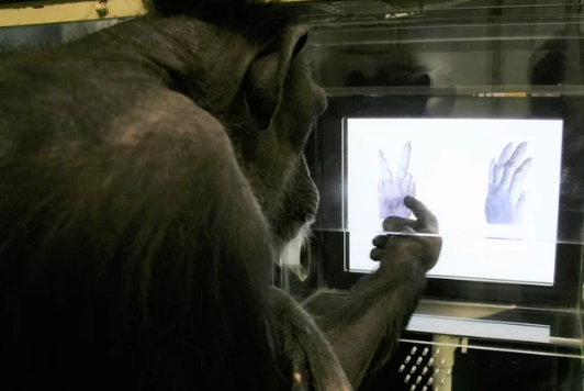 Chimpanzees prove they can play rock-paper-scissors