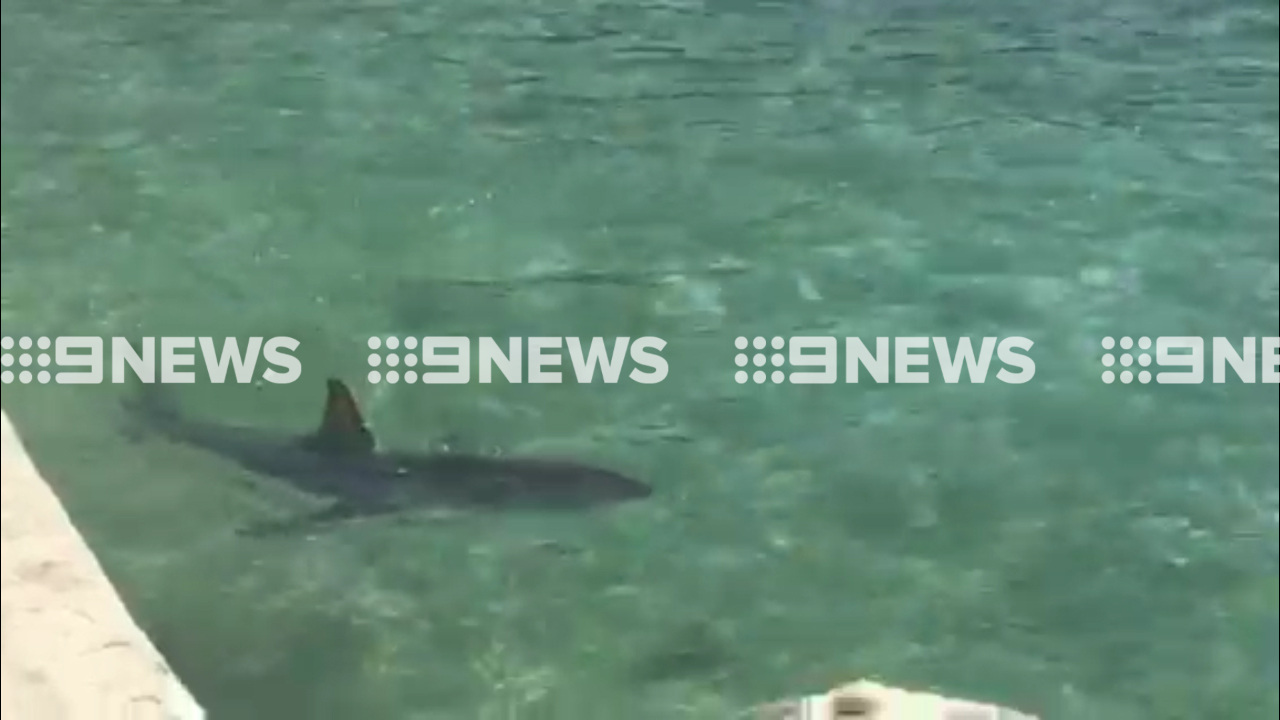 Swimmers make way for great white shark trapped in Sydney pool