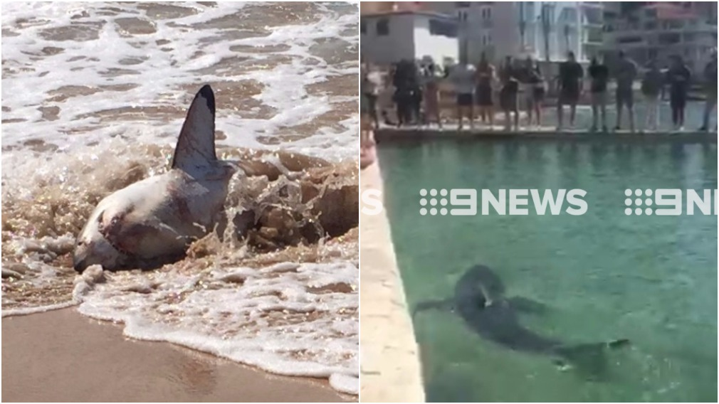 Live shark washes up on Manly Beach - 9News