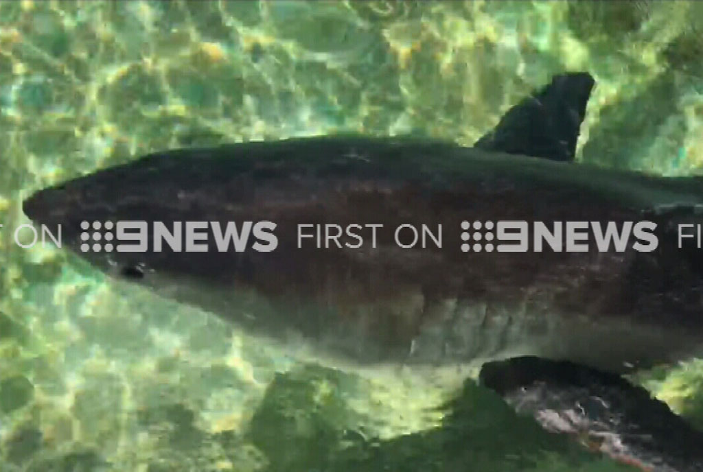 The shark is still in a very weak state, said baffled marine life experts.