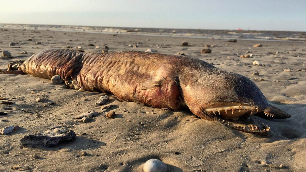 Mysterious sea creature found dead on Texas beach