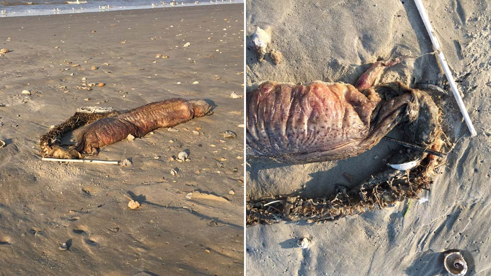 One eel expert has identified the corpse as belonging to a creature known as a snake eel. (Twitter/@preetalina)