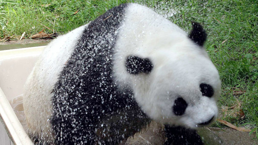 Panda Basi shakes off water after cooling himself down in a bath at a zoo in 2004. (AAP)
