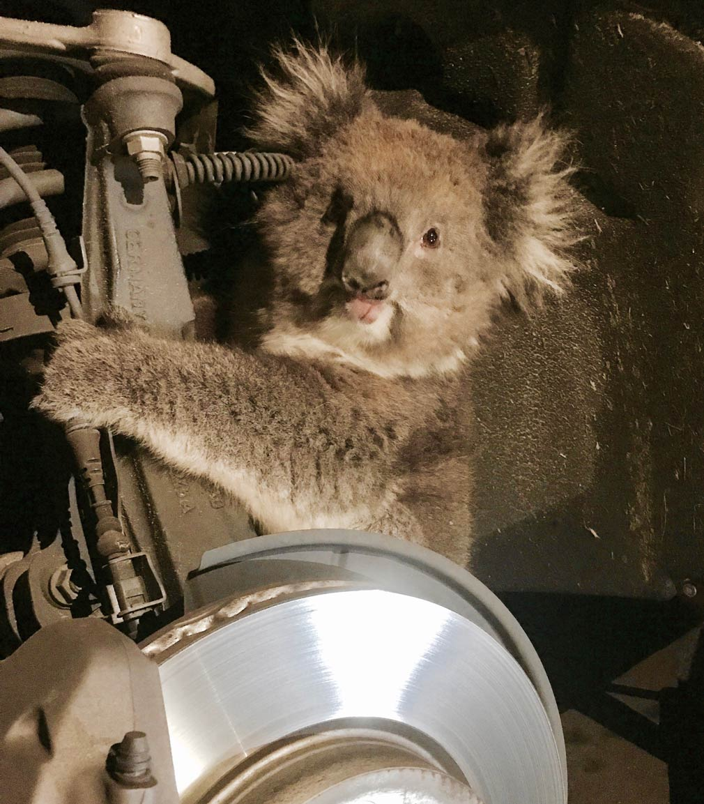 Koala rides 16km trapped behind wheel until driver hears her cry