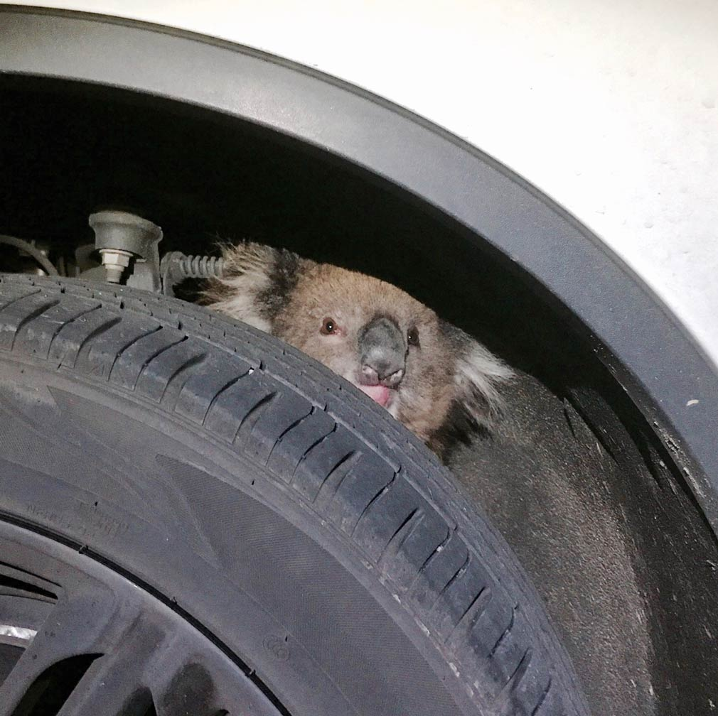 Koala goes on 16km ride attached to axle of auto