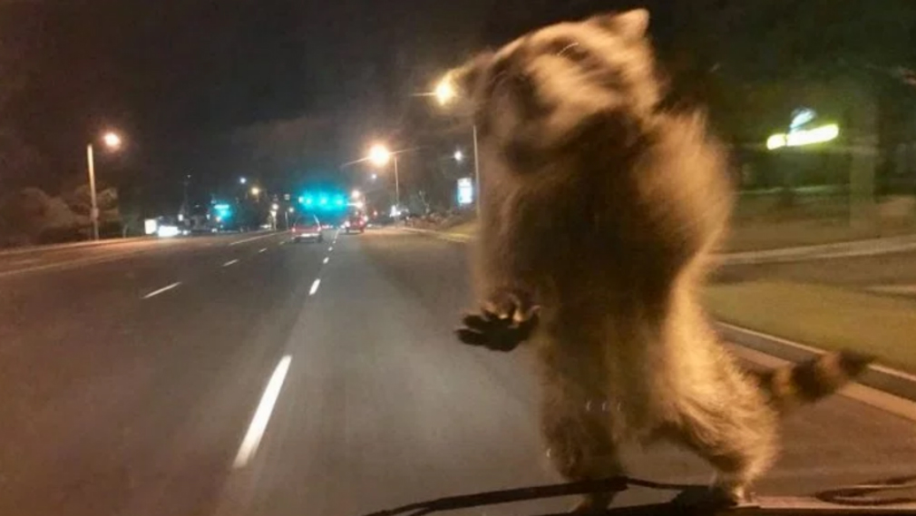 Raccoon jumps on moving police van and takes a ride