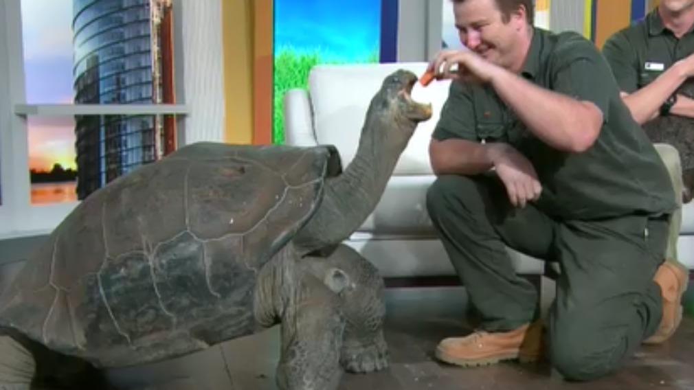 Hugo the tortoise tucks into fruit cake on his 67th birthday