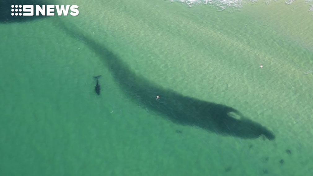 Bait ball at Tuncurry on NSW North Coast attracts sharks and whales