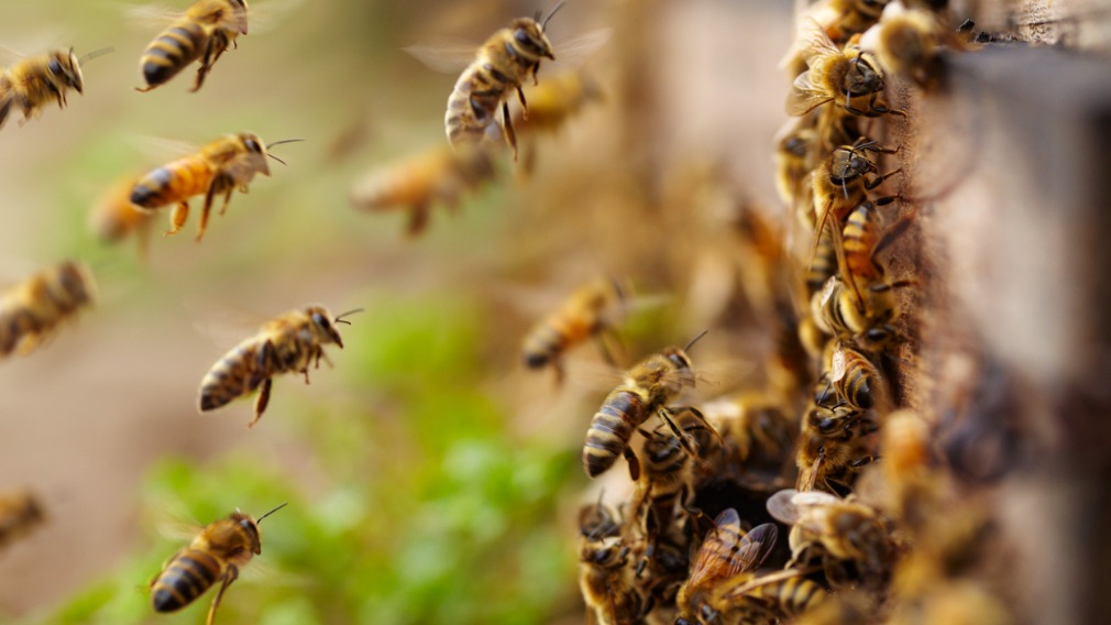 Man dies after being stung by swarm bees on farm - 9News