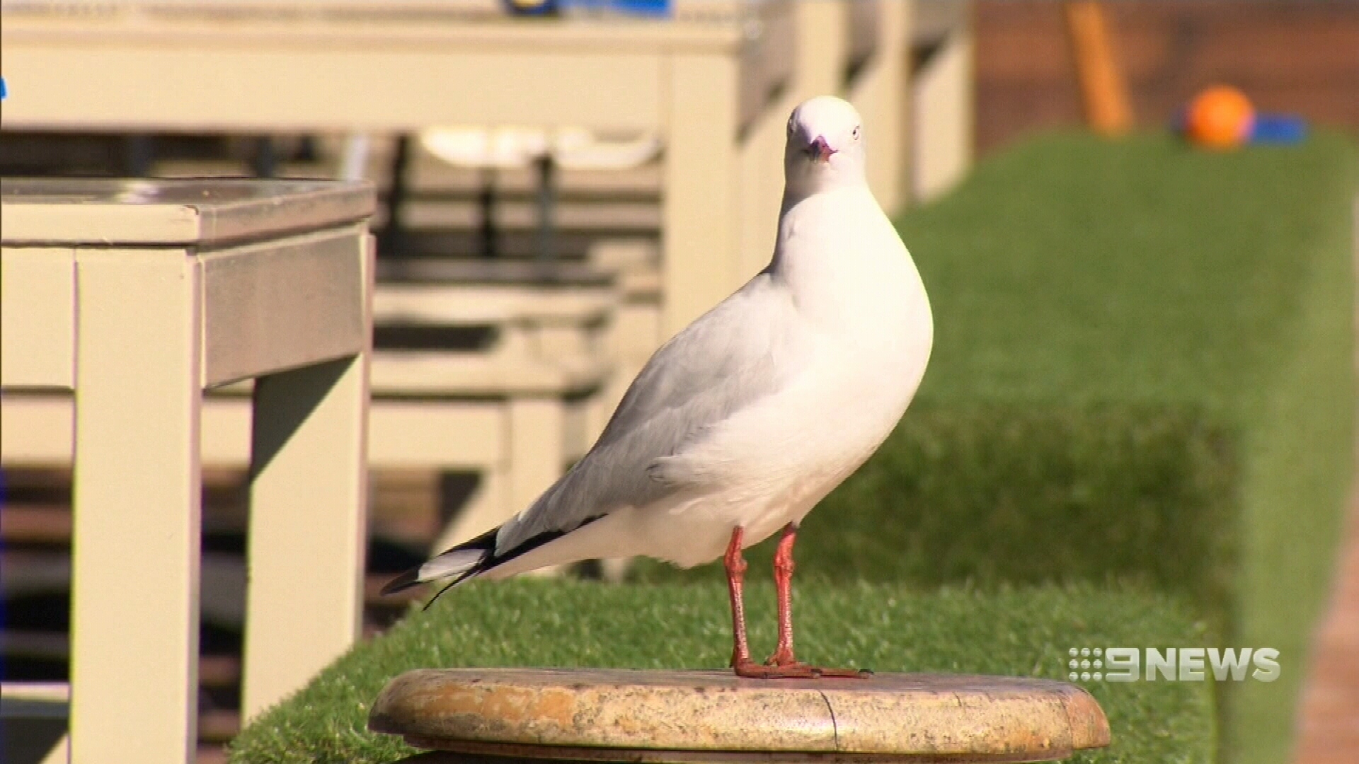 Water guns used by restaurant to 'blast' seagulls away