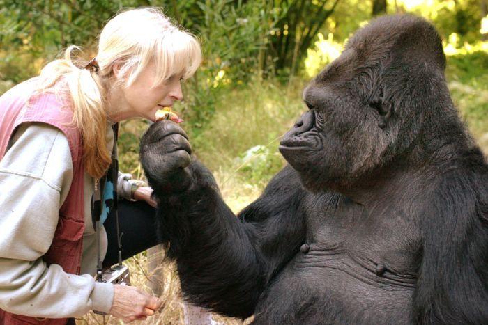 Koko the gorilla's legacy will live on