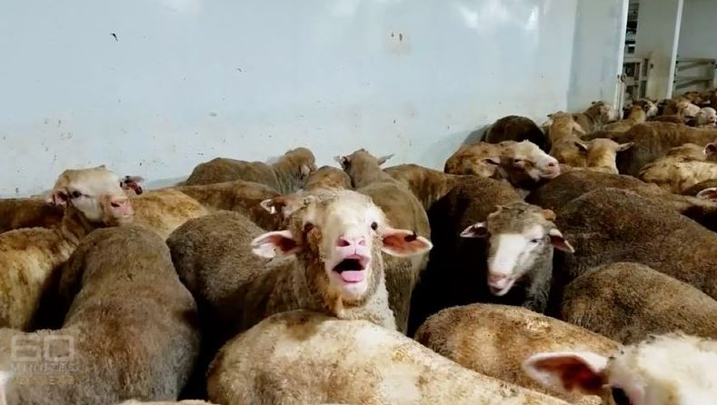 Company embroiled in sheep export scandal has licence suspended