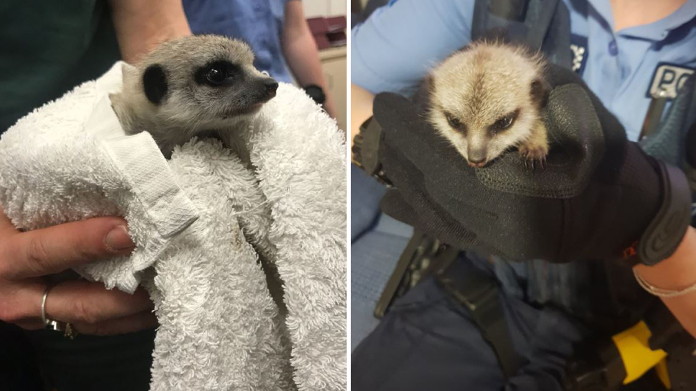 The mystery of the missing baby meerkat has been solved